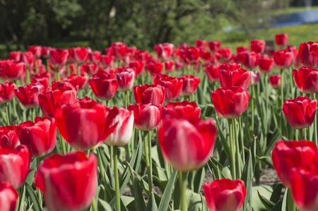 Separate large flowers Tulips in Spring Garden closeup Stock Photo - 13437948
