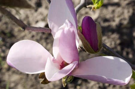Separate large flowers magnolias in Spring Garden photo