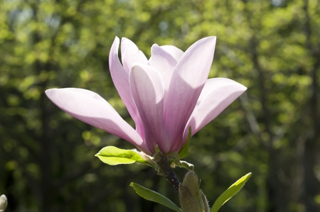 Separate large flowers magnolias in Spring Garden closeup photo
