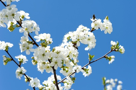 Flowering cherry branches against a backdrop of blue spring sky photo