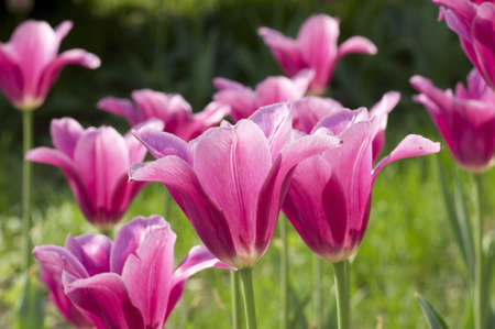 Large colorful tulips Blossom Spring sunny day photo
