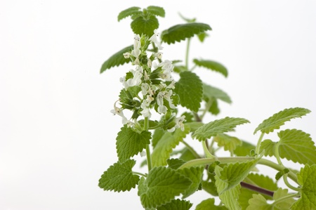 lamiales: Blooming melissa officinalis close-up on a white background Stock Photo