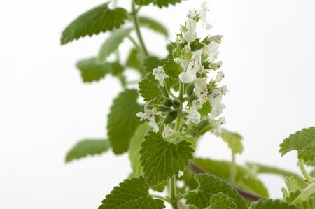 白の背景に咲くメリッサ アスパラガスのクローズ アップ