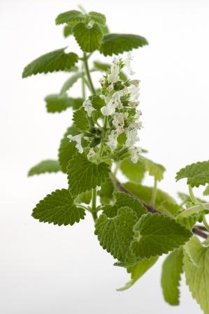 白い背景に咲くメリッサ アスパラガスのクローズ アップ