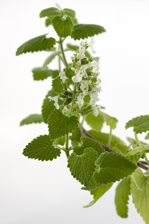Blooming melissa officinalis close-up on a white background Stock Photo - 14119114