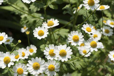 Daisy field on a sunny summer day