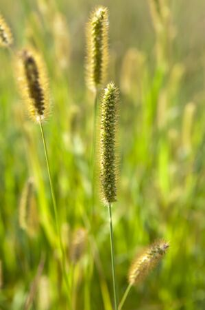 Wild steppe grass close up sunny summer day