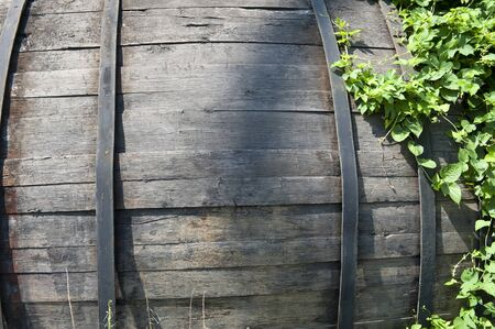 An old wooden barrel twined hops in summer sunny day photo