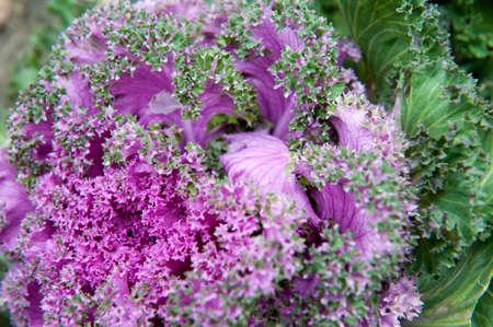 Decorative garden cauliflower close up, autumn Stock fotó