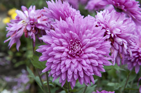 Autumn flowers chrysanthemum garden closeup Фото со стока
