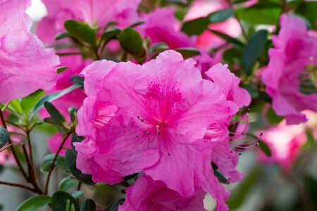 Pink azalea, flowering Bush close up 版權商用圖片
