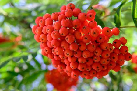 葉で木の枝にナナカマドの果実
