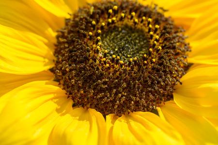 Autumn flowers sunflower garden closeup