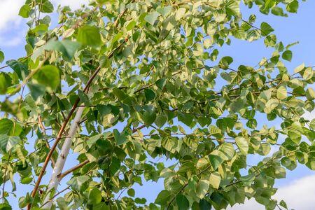 若いバーチ雲と青空と緑の葉のある木