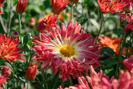 Autumn flowers chrysanthemum garden on a bright sunny day closeup