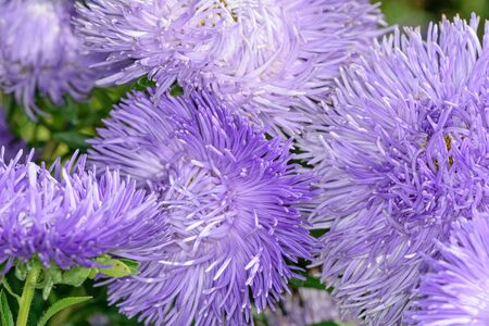 Autumn flowers asters garden on a bright sunny day closeup