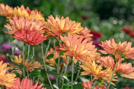 Herfstbloemen chrysant tuin op een zonnige dag close-up