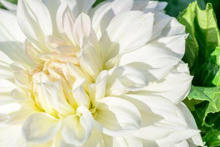 A bright white flower dahlia closeup, flora background