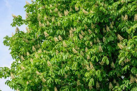 huge tree: Huge flowering chestnut tree in the spring against the blue sky