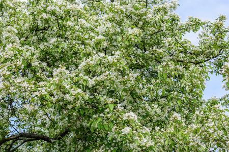 Abundant spring flowering pear in the garden