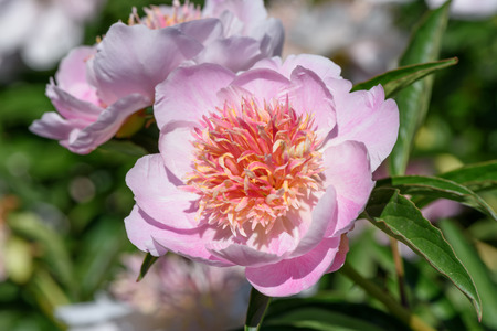 Pink flower of a garden peony closeup on a sunny summer day