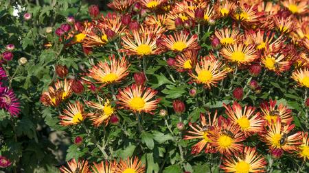 Autumn flowers chrysanthemum garden on a bright sunny day closeup