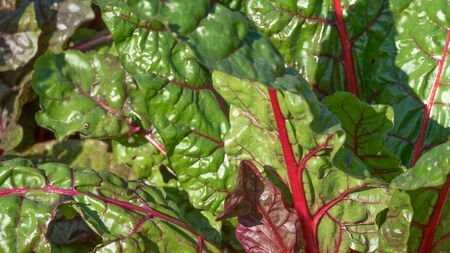 Red beet leaves in the garden close up