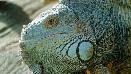 Green iguana ordinary head close-up in profile Stock Photo