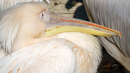 Bird pelican with pink feathers close up Stock Photo - 87039671
