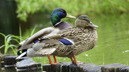 A family pair of wild drake and duck stand on the shore of the lake close-up Stock Photo