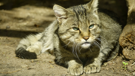 Wild forest Carpathian cat close-up lies on the ground