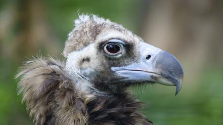 Predatory bird scavenger vulture closeup on a green background