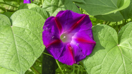 Summer violet flower bindweed closeup on a background of green leaves on a bright sunny day