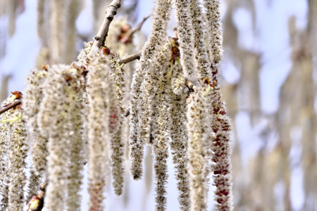 Male flowers of black alder deciduous trees of the birch family close-up macro photography Stock Photo