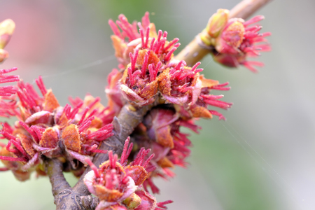 Female flowers of black alder deciduous trees of the birch family close-up macro photography