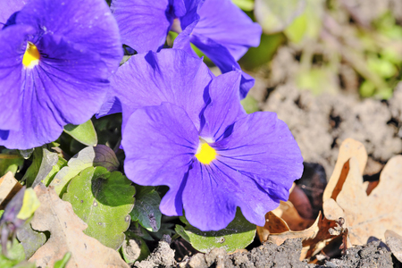 The first spring flowers of violets bloom on a bright spring day close-up macro photography Stock Photo