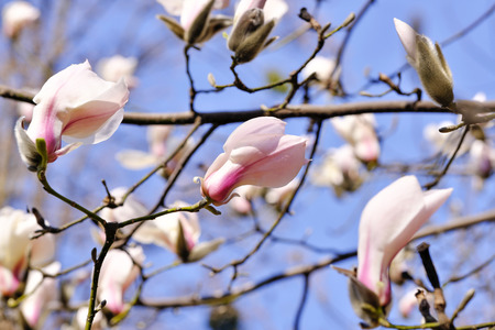 Magnolia blooms on a bright spring day in the botanical garden, flower buds