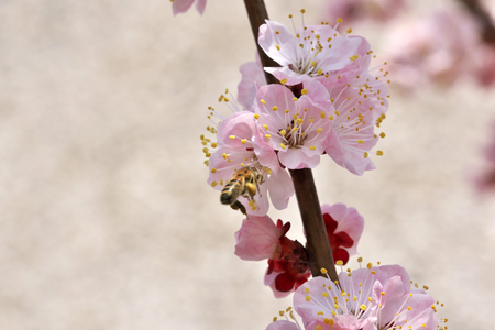 Closeup apricot flowers bloom on a bright sunny spring day in a fruit garden close-up macro photography