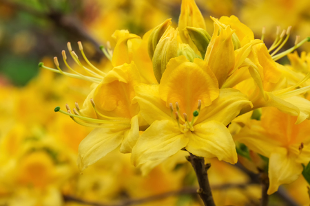 Beautiful spring flowers on rhododendron bushes close-up macro photography Stock Photo