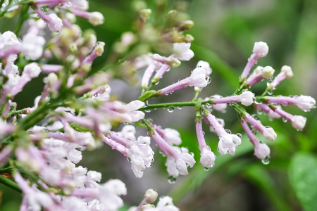 Lilac blooms in drops of spring rain close-up macro photography