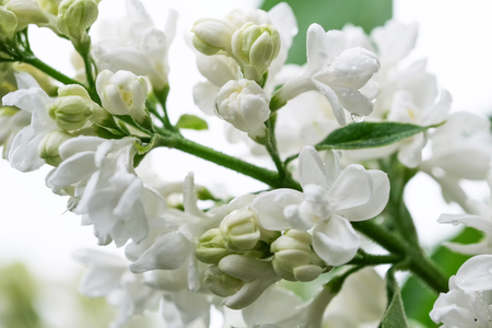 White lilac blooms in drops of spring rain close-up macro photography Stock Photo