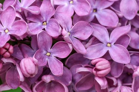 Lilac blooms of spring close-up macro photography