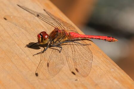 A dragonfly closeup sits on a wooden surface resting sunlit macro photography