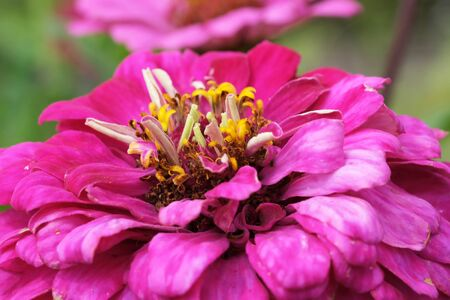 Beautiful summer Zinnia flower on a garden flowerbed close-up shot on a bright summer sunny day