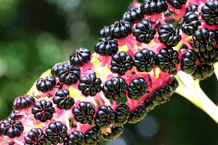 Lakonos or Phytolacca, (greasy grass, Jewish ivy, lentils, pokeberry) ripening berries close-up shot on a bright sunny day