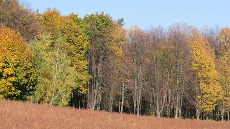Autumn colorful landscape with uncleaned buckwheat field on the edge of the forest plantation on a bright sunny day Stock fotó