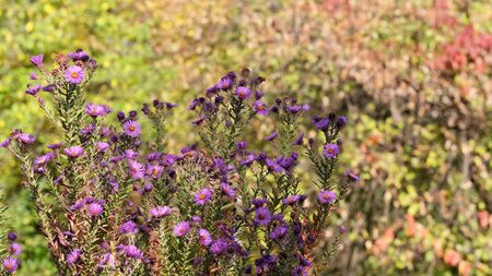 Astra Virgin or New Belgian (Symphyotrichum novi-belgii) beautiful autumn flower bed
