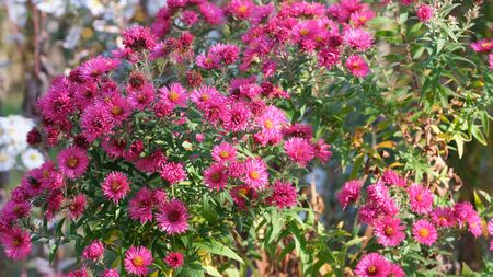 Astra Virgin or New Belgian (Symphyotrichum novi-belgii) beautiful autumn flower bed