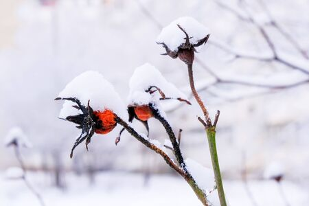 Winter background of branches of urban trees and bushes covered with snow in cloudy weather, close-up