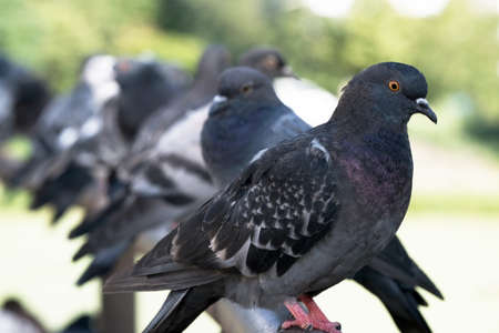 Urban wild pigeons on a metal pipe parapet on the bridge over the lake close up macro photography